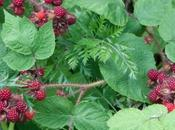 Japanese Wineberries.