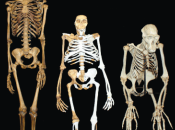 Creationists Admit Humans Australopithecus Related