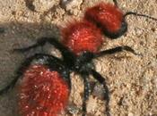 Fuzzy Ant, Dangerous?