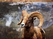 Rocky Mountain Bighorn Sheep Ram, Animal Photography, Near Estes Park Colorado
