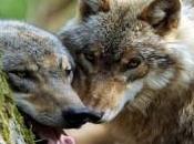 Wisconsin Wolf Hunt Begins
