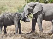 Tuskless Elephants More Common Africa Thanks Poaching