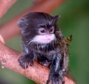 Featured Animal: Emperor Tamarin