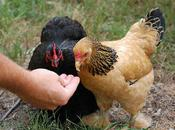 Words About Raising Backyard Chickens