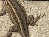 Arizona Lizard Update–November, 2013