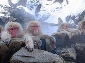 Bathe Spring With Japanese Snow Monkeys