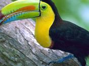 Brilliant Colors Toucans