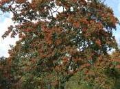 Photinia Beauverdiana