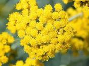 Helichrysum Italicum: Flower Immortality