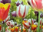 Warning: Beautiful Tulips Ahead