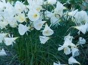 Narcissus Cantabricus (and Other Winter Lovelies)