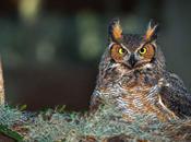 Nesting Great Horned