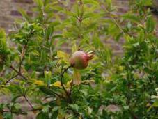 Plant Week: Punica Granatum