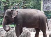 Featured Animal: Sumatran Elephant
