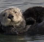 Featured Animal: Otter