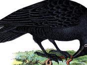 Ravens Crows