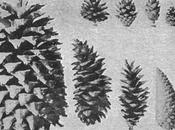 Milan's Pitch-Pine Cone Shapes