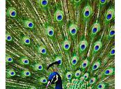 Peacock Farming