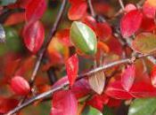 Plant Week: Cotoneaster Divaricatus