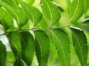 Indian Neem Perfect Ingredient Beauty