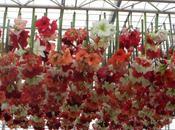 Wordless Wednesday 21/5/14 Hanging Amaryllis