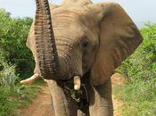 Human Conflict Cause Elephant Decline