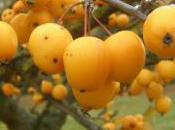 Plant Week: Malus Zumi 'Golden Hornet'