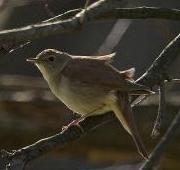 Featured Animal: Nightingale