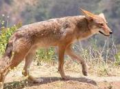 Featured Animal: Coyote