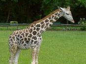 Featured Animal: Giraffe