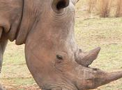 Rhino Horn Medicine