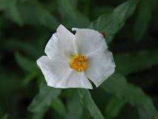 Plant Week: Cistus Laxus