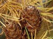 Plant Week: Larix Decidua