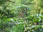 Scheffleras Garden