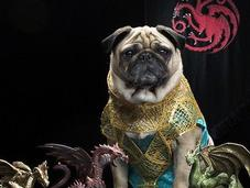 Pugs Westeros: Adorable Dressed Game Thrones Characters