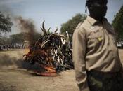 Smuggled Elephant Ivory Price Triples