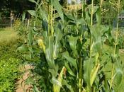 Growing Harvesting Sweet-corn