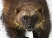Conservation Groups Over Wolverine Decision